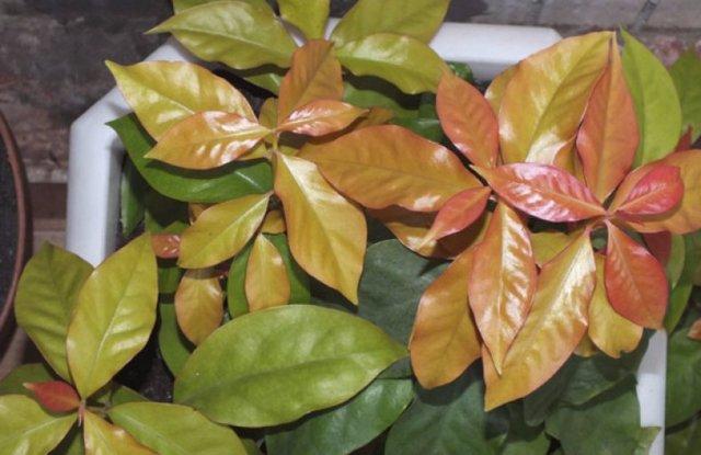 Переския: фото, особенности ухода за листовым кактусом в домашних условиях, а также описание строения и цветов Грандифлоры, Бразильского и других видов и сортов