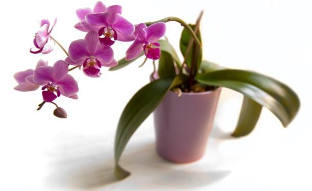Как появляются цветоносы у орхидеи: когда это происходит и как долго растет новый побег, а также фото проклюнувшейся стрелки, которую пустил цветок