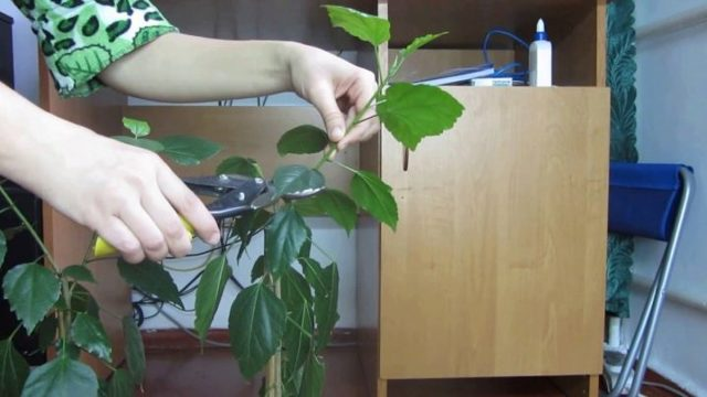 Гибискус болотный: фото и описание растения, правила ухода в домашних условиях, а также особенности размножения, обрезки и пересадки