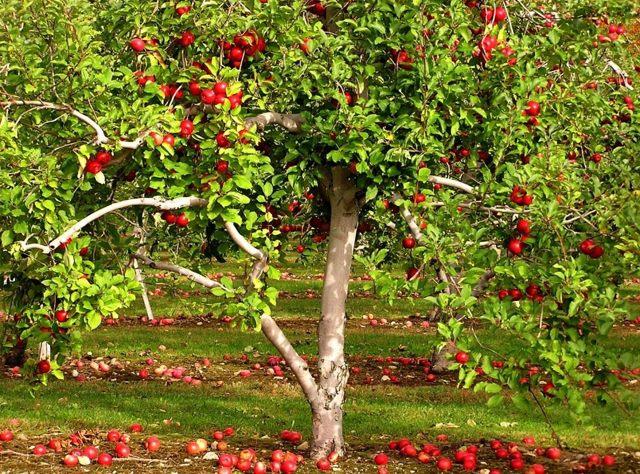 Борьба с тлей на плодовых деревьях: как избавиться на лимоне, сливах и садовых растениях, и эффективные препараты и виды средств, чем можно обработать и опрыскивать