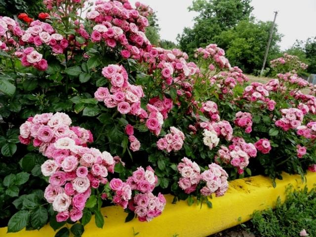Кустовые розы: описание, название и фото сорта Салинеро, Барбадос, Лиана, Лидия, Мирабель, Саммер Дэнс, Рефлекс, а также мелких цветов Яна, маленьких Беби и Одилия