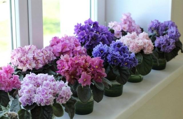Фиалки: фото, история происхождения и описание комнатного цветка, можно ли держать дома и использовать от кашля, виола декоративно-лиственное растение или нет?