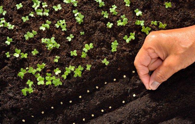 Редис Дуро краснодарский: описание и характеристика сорта, основные особенности, преимущества, недостатки, правила выращивания и урожайность