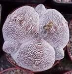 Астрофитум: козерогий (capricorne, senile), коауиленсе (coahuilense), caput medusae, астериас Супер Кабуто (asterias super kabuto), звёздчатый и другие, фото видов