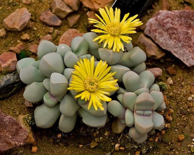Лапидария: что это такое, каковы размножение и уход и имеет ли lapidaria margaretae разновидности?