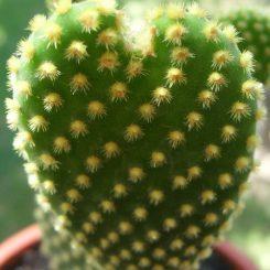 Маммиллярия: уход в домашних условиях за кактусом, как правильно следить за ним, в том числе и в открытом грунте, а также особенности пересадки и размножения