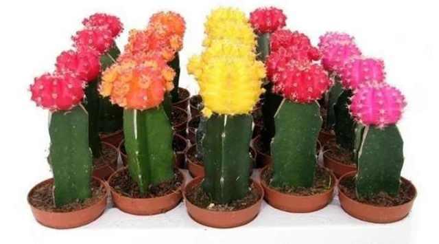 Гимнокалициум (gymnocalycium): описание и фото кактусов этого рода, а также что нужно делать для правильного содержания растения в комнатных условиях