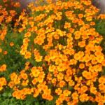 Бархатцы многолетние: посадка и уход, а так же однолетние сорта и виды, фото растения