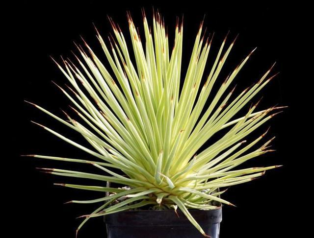 Агава: как цветет это растение и когда, как часто, какие нужны условия и уход для появления бутонов, фото во время этого периода