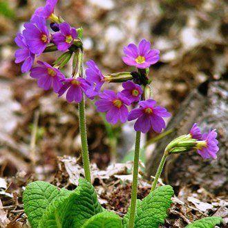 Примула: виды (вечерняя, садовая, многолетняя, комнатная) цветка и сорта, их описание и фото, а также уход за растением и болезни, полезные свойства