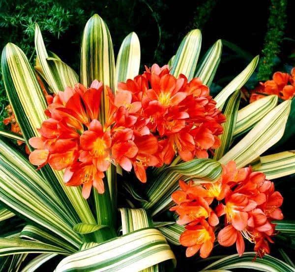 Кливия: уход в домашних условиях, особенности выращивания и размножения, а также информация о том, как заставить ее дать бутоны и что делать после цветения