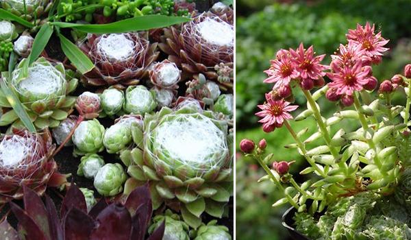 Каменная роза или молодило: что это за растение, суккулент или нет, фото комнатного цветка sempervivum, и уход за ним в домашних условиях в горшке и открытом грунте