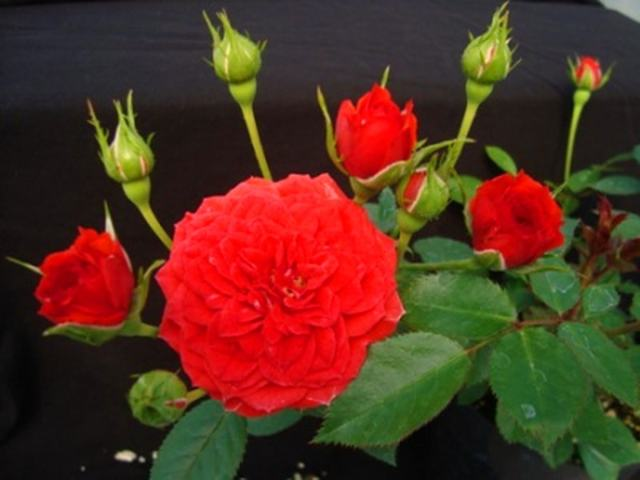 Виды комнатной розы: фото и названия, классификация и описание сортов белых, желтых, красных и других цветов домашнего растения