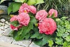 Бегония мэсона - комнатное растение: всё о болезнях и вредителях, правилах освещения, фото и особенности размножения