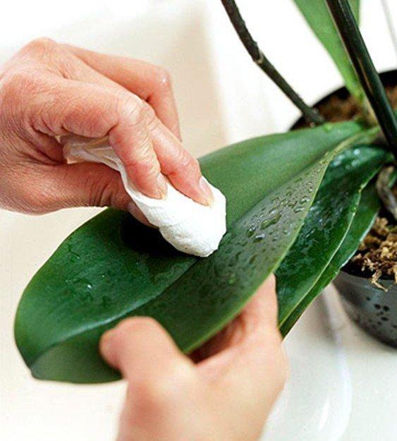 Избавиться от мучнистого червеца на орхидее: как вылечить цветок от болезни, каким образом бороться с вредителем и вывести в домашних условиях, фото недуга
