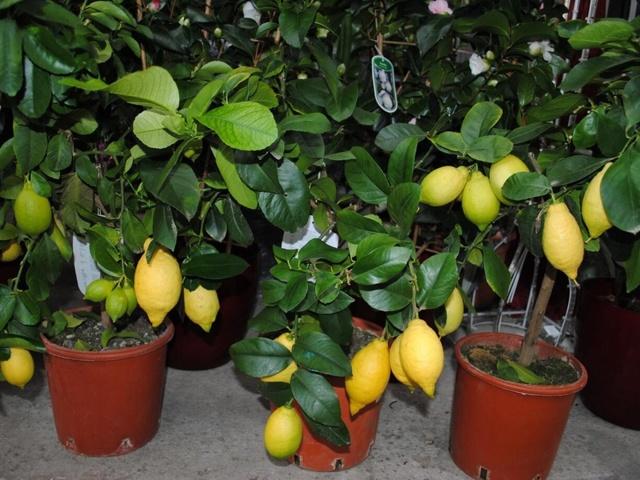 На листьях лимона пятна желтого и коричневого цвета: что делать, если они по каким-то причинам появились на домашнем растении, а также лечение и профилактика