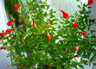 Выращивание карликового граната из семян: Карфаген, Рубин и другие сорта, приживающиеся в домашних условиях, а также плюсы и минусы метода и инструкция по посадке