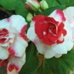 Болезни бальзамина и их лечение с фото: почему опадают цветки, не раскрываются бутоны, комнатное растение поникло и потемнело у основания и что с этим делать?