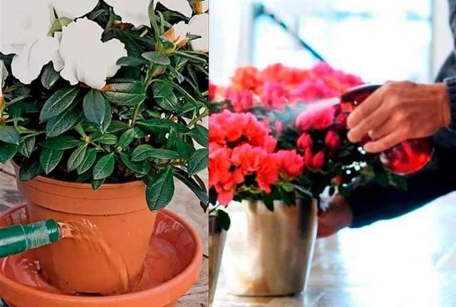 Как пересадить азалию в домашних условиях правильно: когда можно это делать, пошаговая инструкция, а также уход и фото комнатного цветка