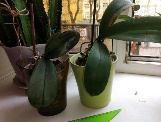 В орхидее завелись мошки: что делать и как от них избавиться в домашних условиях, а также чем обрабатывать, если появились их белые личинки в цветочном горшке?