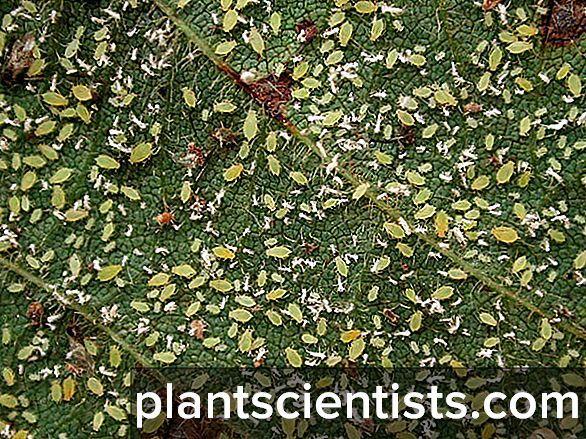 Болезни пеларгонии и как с ними бороться: почему сохнут бутоны, как происходит лечение растения и уход в домашних условиях, а также фото вредителей
