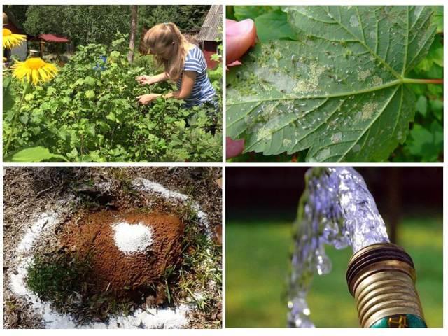 Тля на смородине: как бороться с галловым паразитом, какое насекомое спасает, чем обработать кусты с красной и иной ягодой, а также препараты и меры профилактики