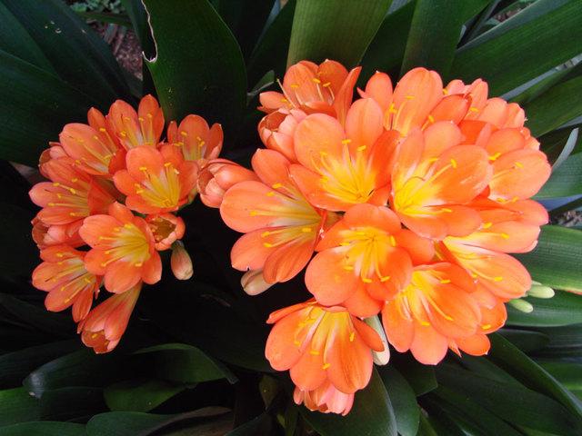 Кливия: виды комнатного растения, их описание и фото, уход за цветком в домашних условиях и как размножать отростком без корней, приметы и суеверия связанные с ней