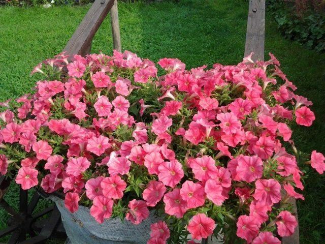 Петуния Тайдал: что это за цветок, каковы особенности сорта Вейв Ред Велюр, а также чем отличается уход за данным растением?