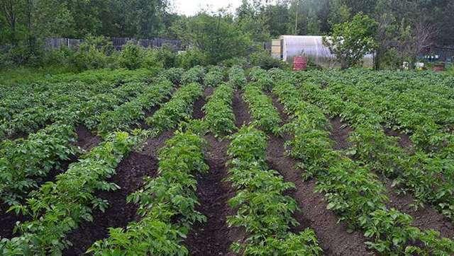 Посадка батата в огороде и в теплицах: можно ли сажать сладкую картошку в открытый грунт и когда лучше, как правильно сеять семена в почву и схема, уход за ростками