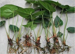 Как посадить антуриум отростком: когда лучше размножать, какой взять горшок и как выбрать землю, можно ли вырастить без корней, а также как правильно ухаживать?