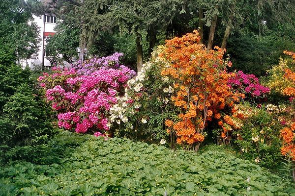 Азалия индийская: уход в домашних условиях за цветком, фото Микс, Биколор, Фламенко, Симса, Гельмут и других сортов рододендрона белого, красного и прочих оттенков