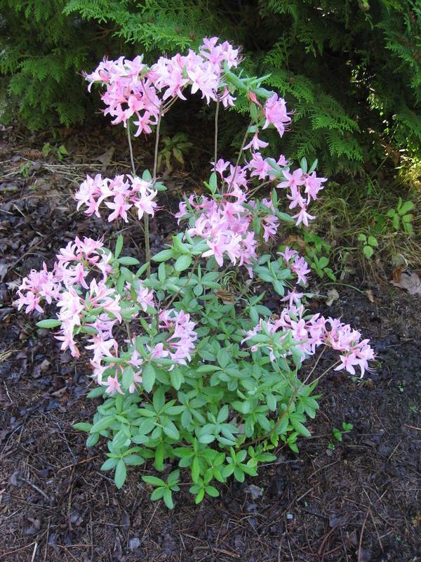 Азалия японская Уайт Лайтс: выращивание рододендрон, подсорта azalea white lights, что делать, если не цветет, болезни и вредители, особенности размножения