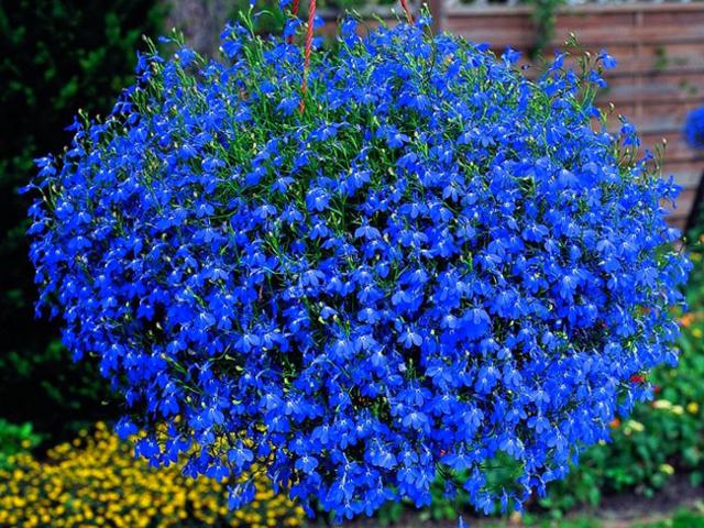 Лобелия Розамунда: описание растения, особенности посадки, выращивание из семян и черенков, а также уход за кустом