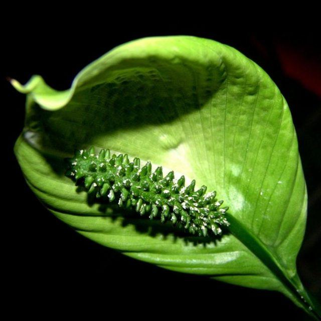 Как заставить цвести эпифиллум: какой уход ему нужен в домашних условиях, почему филлокактус не набирает бутоны, когда у него появляются плоды, а также фото растения