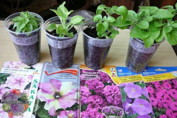 Петуния: выращивание из семян в домашних условиях, особенности размножения растения, когда сажать и как правильно сеять