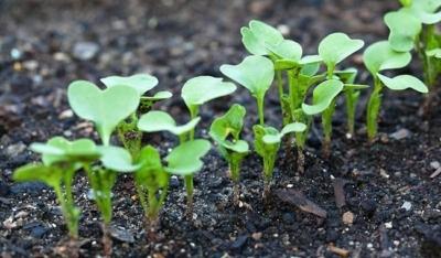 Через сколько дней всходит редис после посева: когда появляется зелень, как выглядит на фото, какое выбрать время и температуру для посадки семян в открытый грунт?
