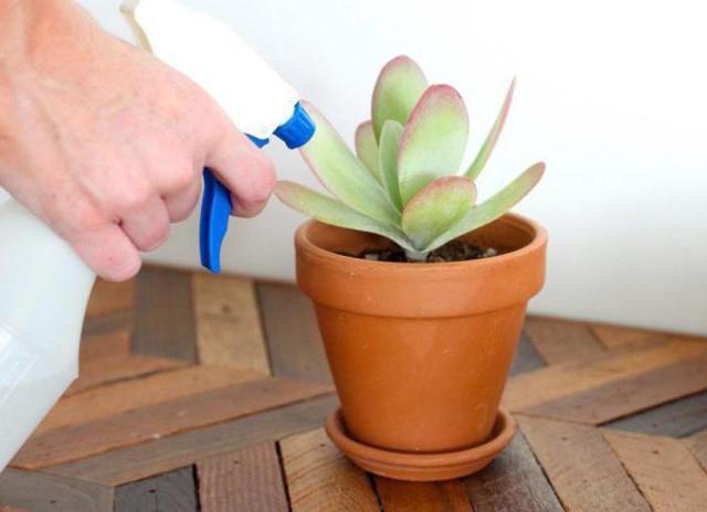 Размножение эхеверии: как это сделать в домашних условиях розетками, семенами, листом и как укоренить верхушкой, а также особенности посадки и дальнейшего ухода