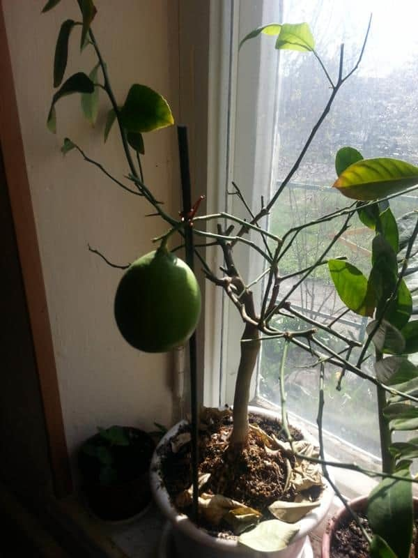 У лимона опали листья: почему комнатное растение сбросило все свои органы для фотосинтеза, что делать и как оживить его?