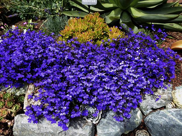 Лобелия император Вилли: описание внешнего вида и фото растения, посадка и уход, а также особенности выращивания из семян и черенков