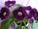 Глоксиния Соната: уход и размножение в домашних условиях