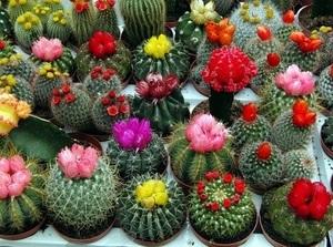 Кактусы микс: что это такое и как выращивать, особенности ухода в домашних условиях, а также фото и названия цветущих видов