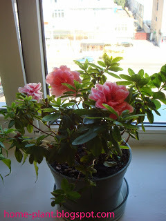 Азалия: как выглядят цветочки, когда она отцветает и распускается, как долго растение радует бутонами, а также фото и советы по уходу за рододендроном в горшке