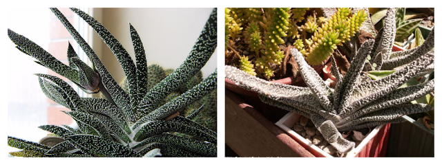 Гастерия (gasteria): что это за цветок, виды и фото этого комнатного растения, а также как за ним ухаживать?