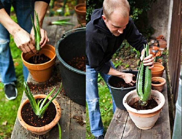 Алоэ Вера (Аloe vera): что это такое, почему так называется, описание растения и фото, как выглядит комнатный цветок в горшке, в чем отличия от домашнего столетника