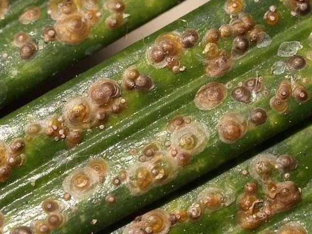 Руэллия или диптеракантус Уход в домашних условиях Фото разновидностей Размножение