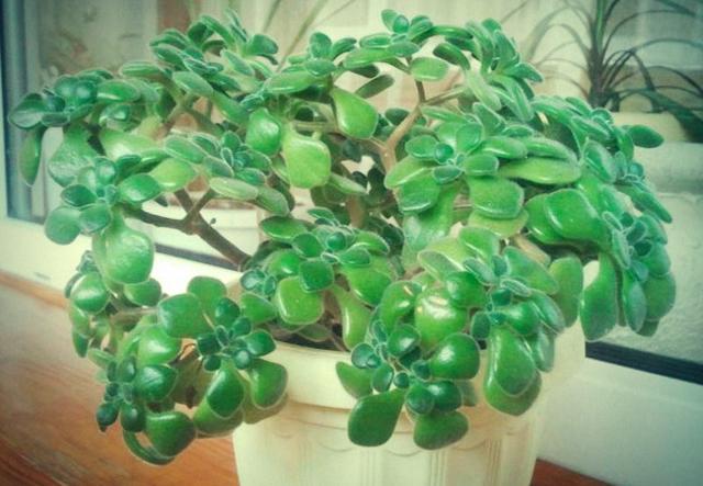 Денежное дерево: все о комнатной толстянке с названием цветка, по-научному,
