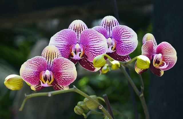 Орхидея Лиодоро: описание внешнего вида и фото, ее отличия и запах, а также правила по уходу за растением