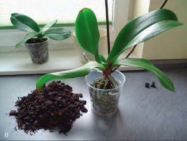 Почему листья орхидеи сохнут и у них желтеют кончики: что делать, если возникла подобная неприятность и как бороться с проблемой в таком случае?