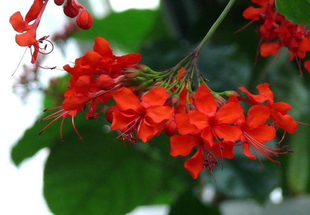 Комнатное растение клеродендрум блестящий: описание, фото, особенности ухода в домашних условиях