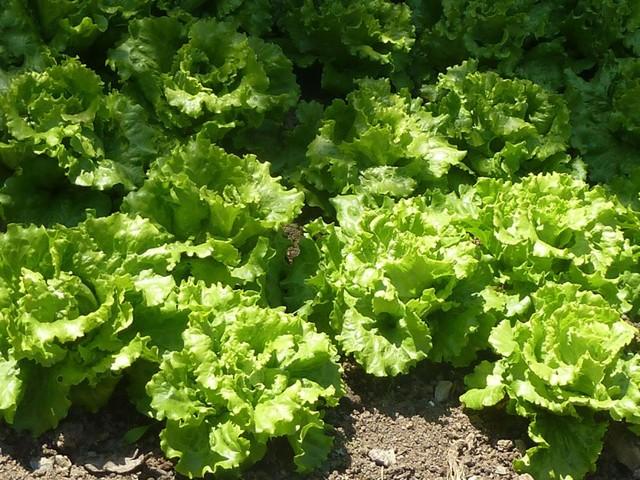 Посадка редиски в теплицу ранней весной: как производить посев в марте, когда именно можно начинать сажать, какие сорта овоща выбрать, где купить семена?
